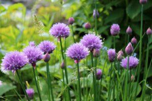 bloemen bieslook voor de kruidenboter